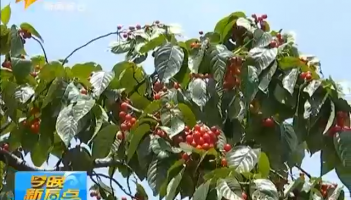 荒山变金山 小小樱桃带动村民致富