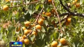 峄城:麦收时节杏飘香 千亩杏林助农增收
