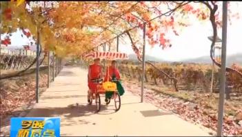 初冬千亩葡萄园颜色景色迷人