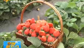 市中:大棚草莓俏销