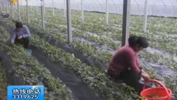 科技大棚引领高效农业 蔬果增收助农增收