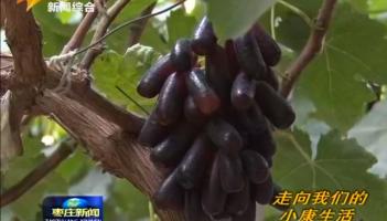 """小小葡萄树 种出""""致富果"""""""