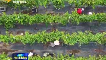 山亭区发展现代特色农业 推动乡村产业振兴